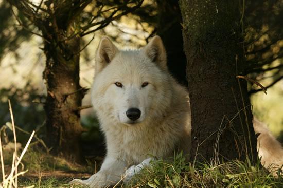 Pure white werewolf - photo#11